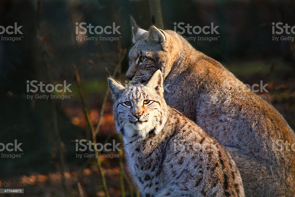 Young Lynx with the Mother stock photo