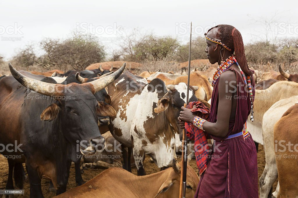 Young maasai warrior (morani) with cattle in village stock photo