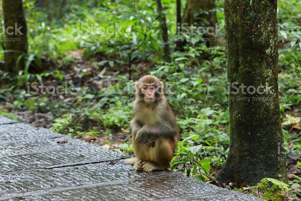 Young macaque in Zhangjiajie national park, stock photo