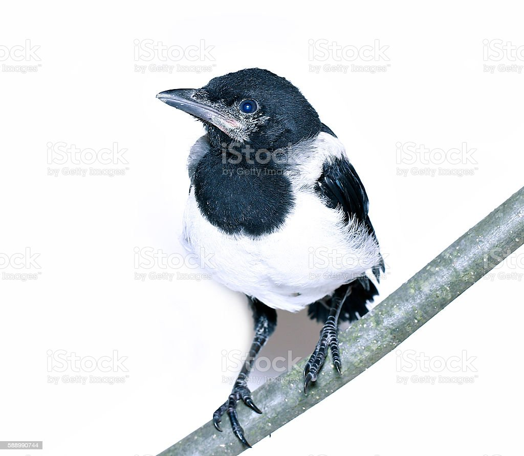 Young magpie chick stock photo