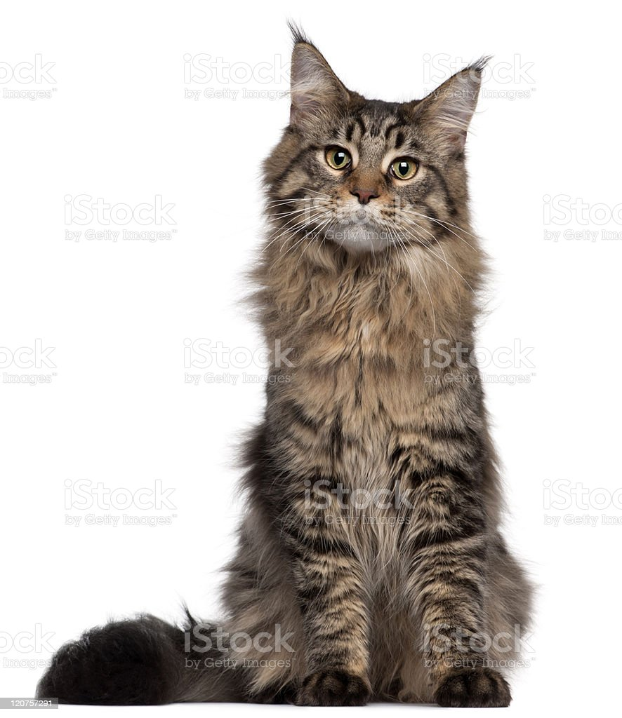 Young Maine coon cat sitting on white background stock photo