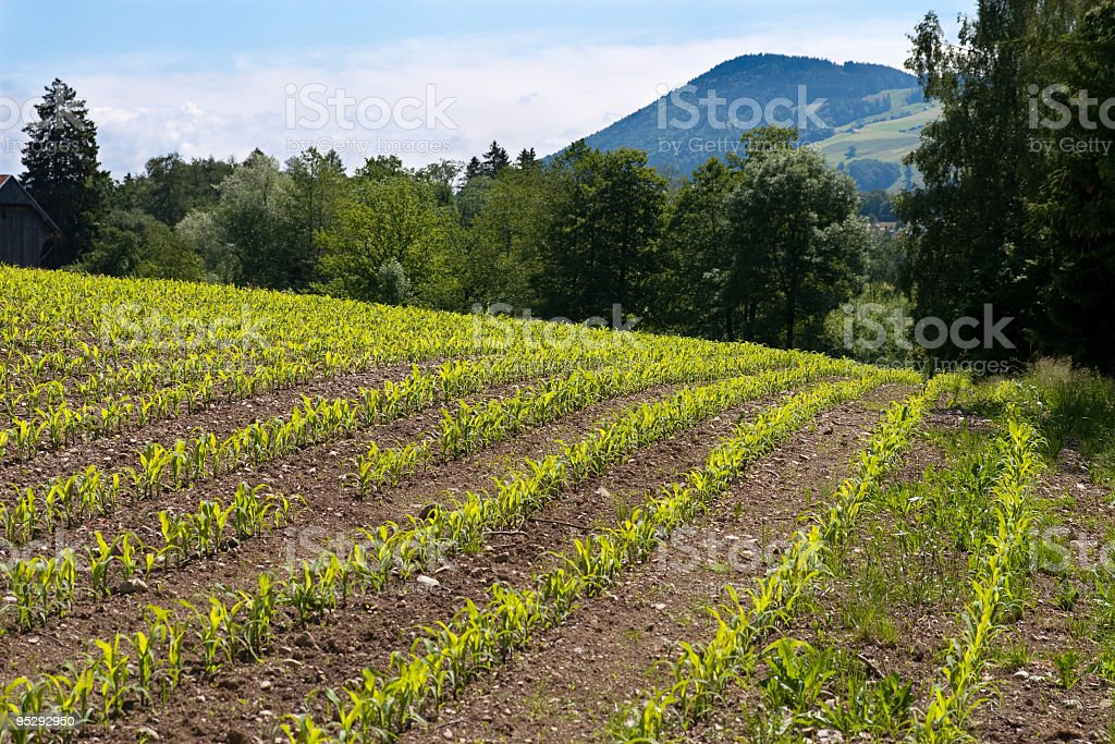 Young Maize Field in Switzerland royalty-free stock photo