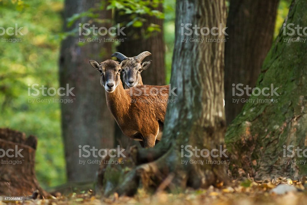 Young male and female mofulon stock photo