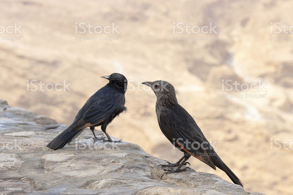 Young, male and female, Tristram's Starling royalty-free stock photo