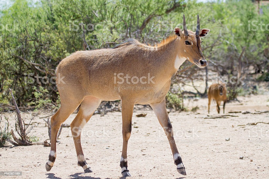 Young Male Asian Nilgai Antelope royalty-free stock photo