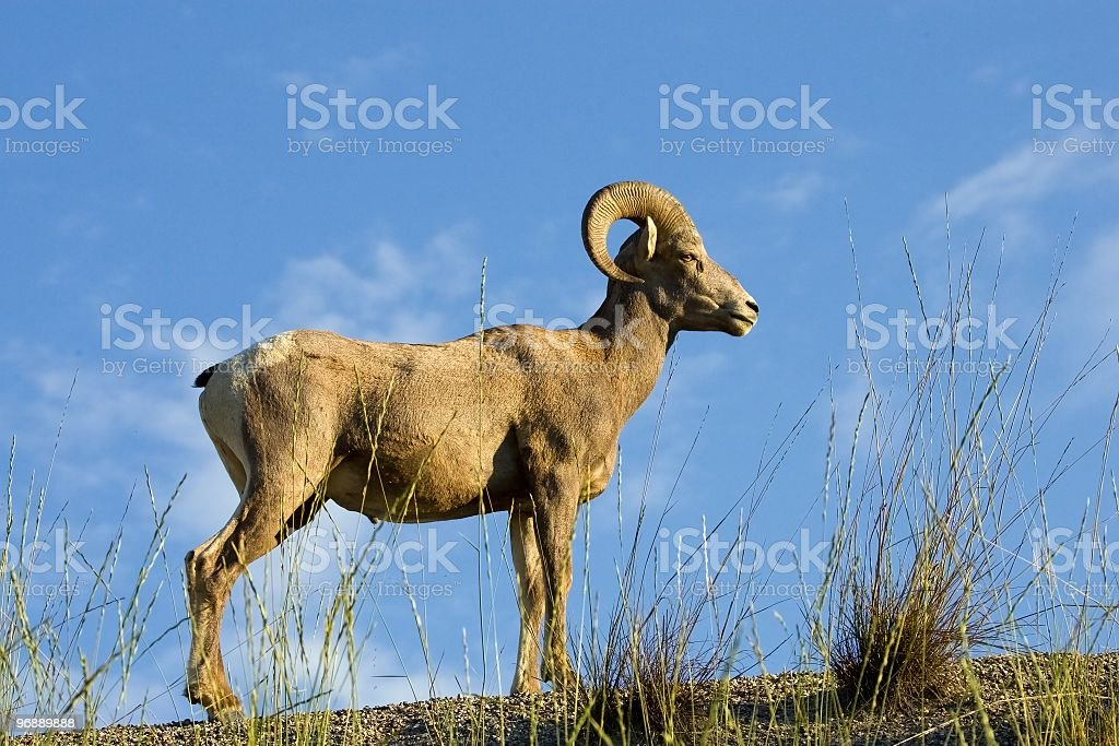 Young Male Bighorn Sheep Ram royalty-free stock photo