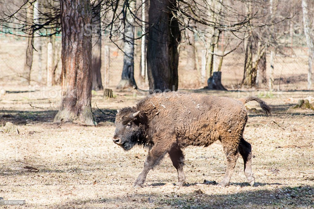 Young male bison in the forest stock photo