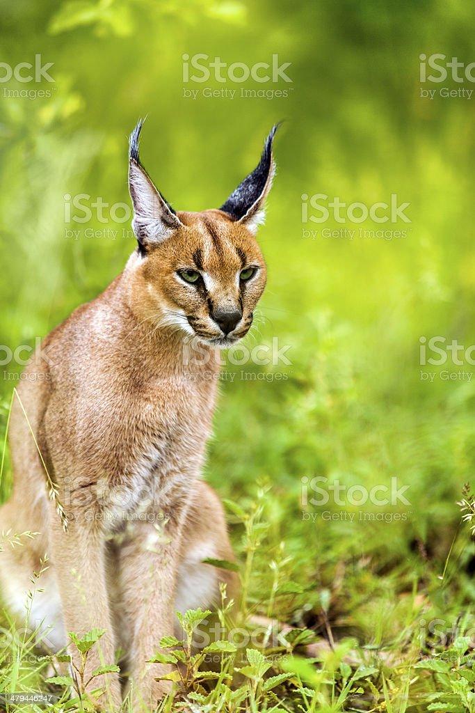 Jeune mâle caracal en herbe. photo libre de droits