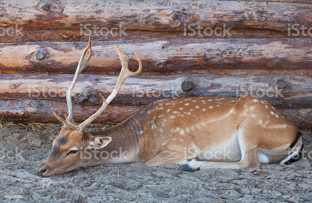 Young male deer with big, beautiful horns stock photo