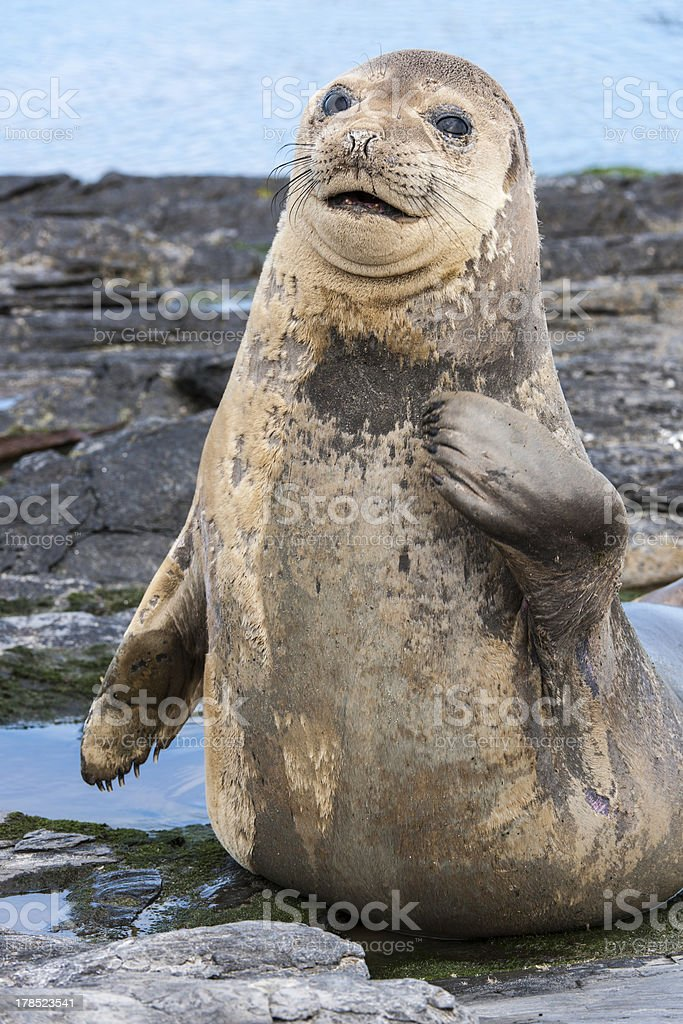 Young Male Elephant Seal stock photo