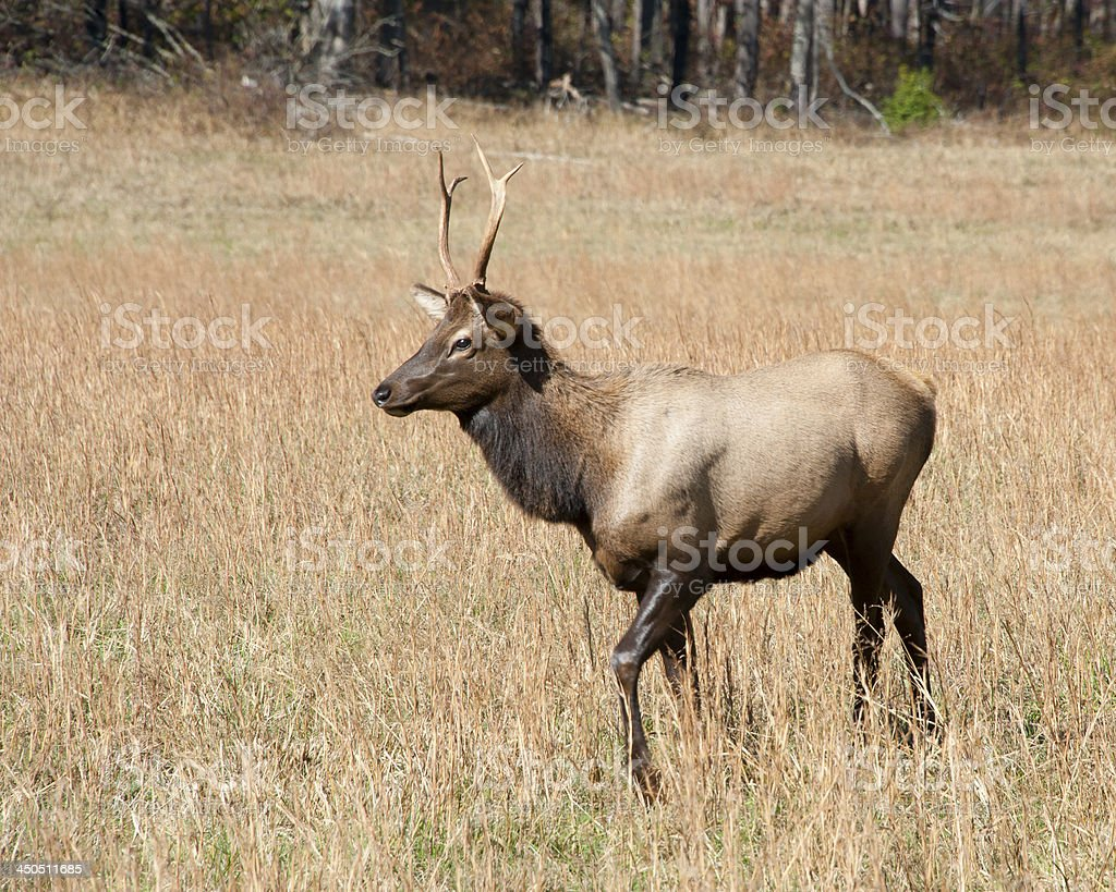 Young Male Elk, Cataloochee, North Carolina stock photo