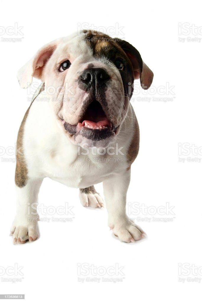 Young Male English Bulldog on a White Background royalty-free stock photo