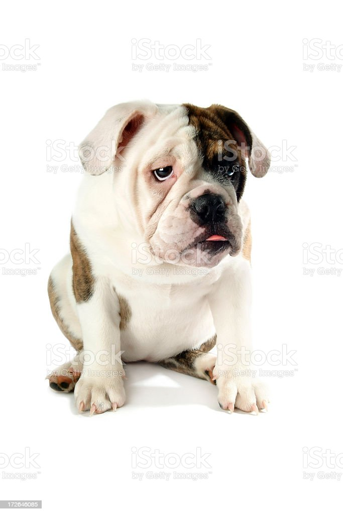 Young Male English Bulldog Sitting on a White Background stock photo