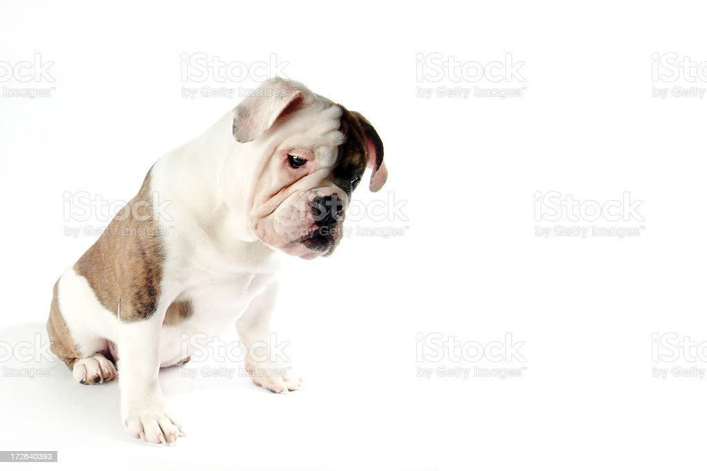 Young Male English Bulldog Standing on a White Background royalty-free stock photo