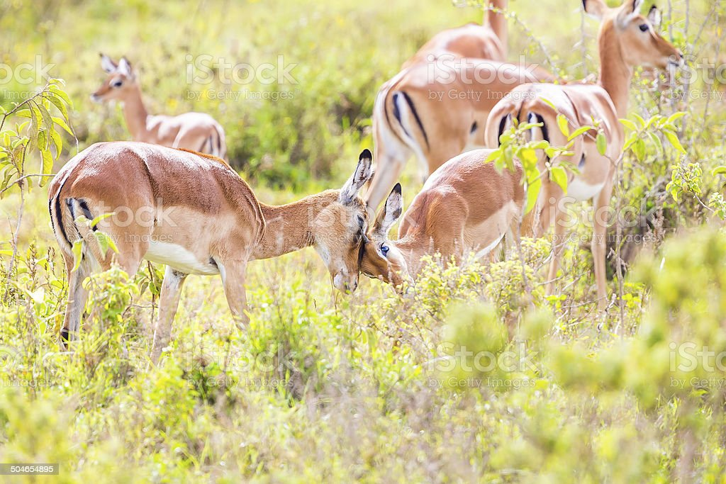 young male impala with its mother - love royalty-free stock photo