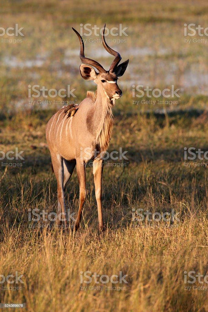 Young male Kudu Botswana stock photo