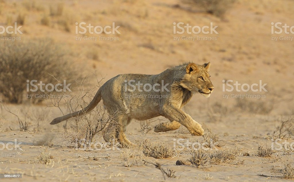 Young male lion breaking into a run stock photo