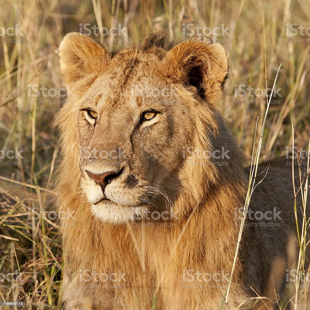 Young male lion in the Maasai Mara royalty-free stock photo