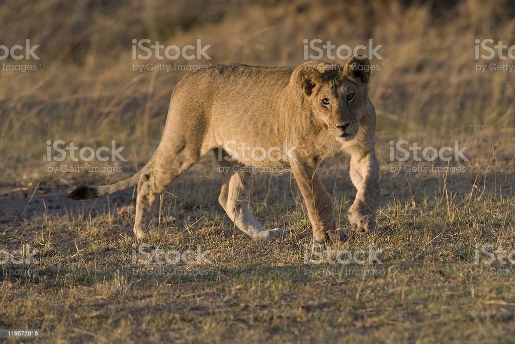 Jeune mâle Lion du Masaï Mara photo libre de droits