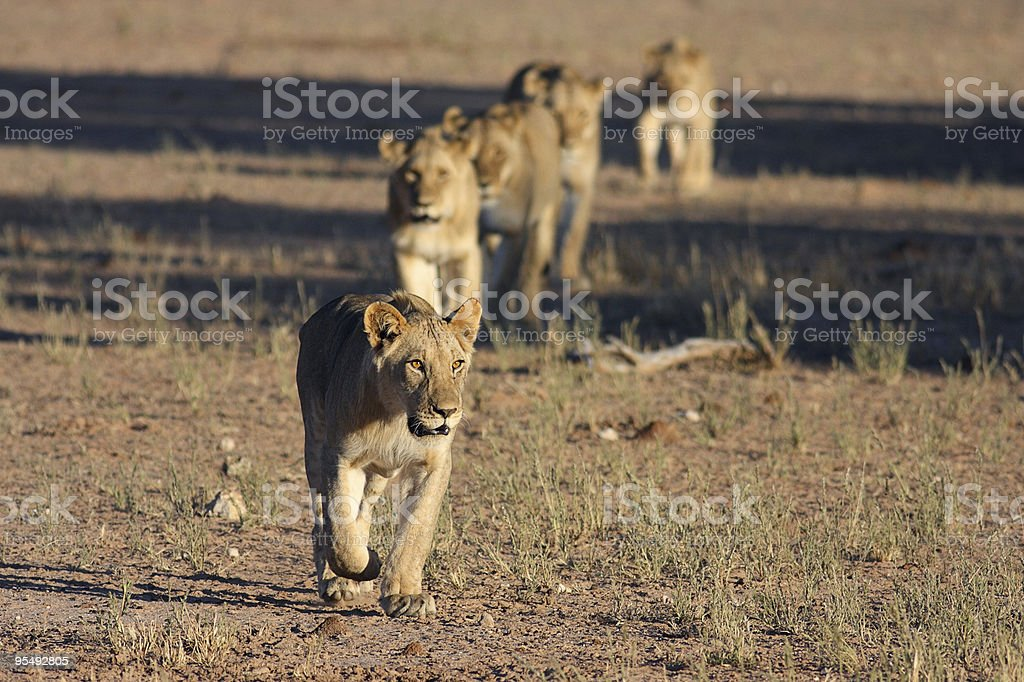 young male lion leading a pride across an open plain. stock photo