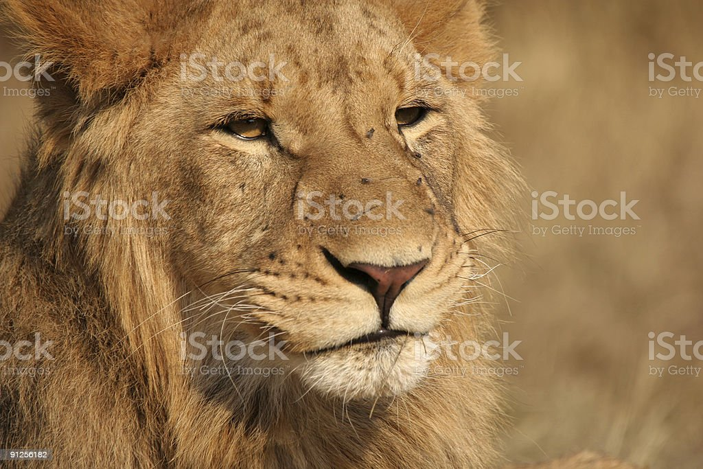 young male lion royalty-free stock photo