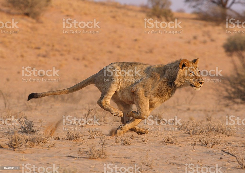 Young male lion running at speed . stock photo