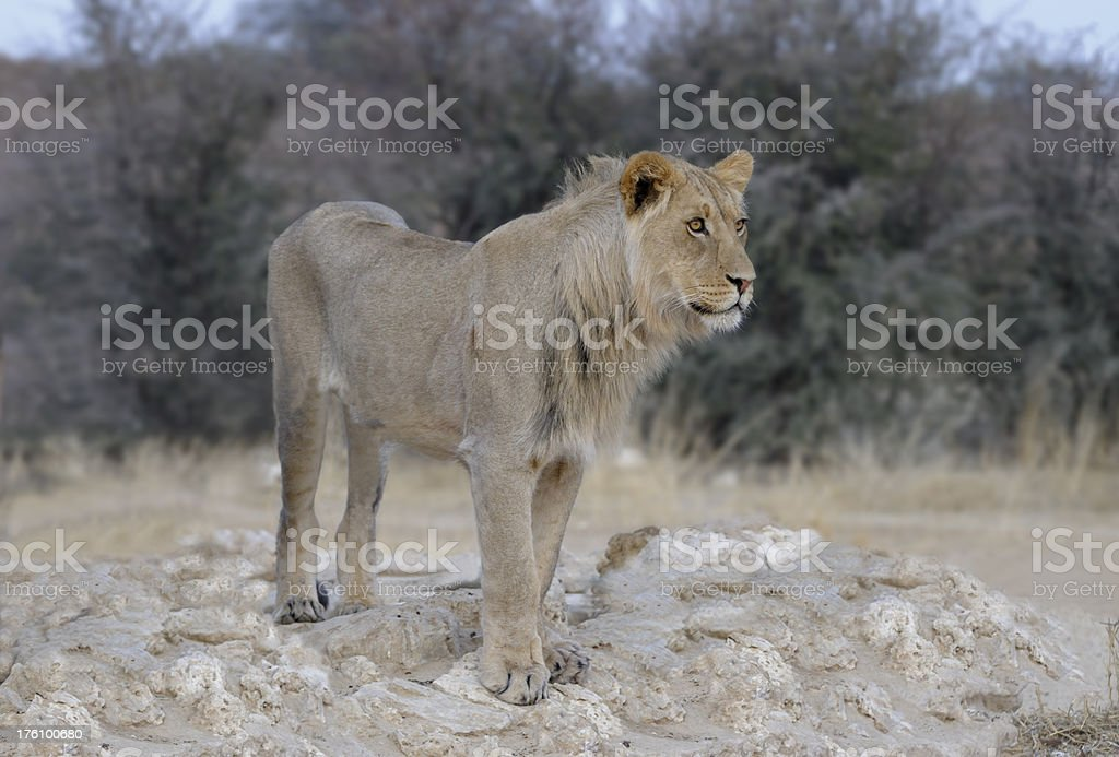 Young male lion staring royalty-free stock photo