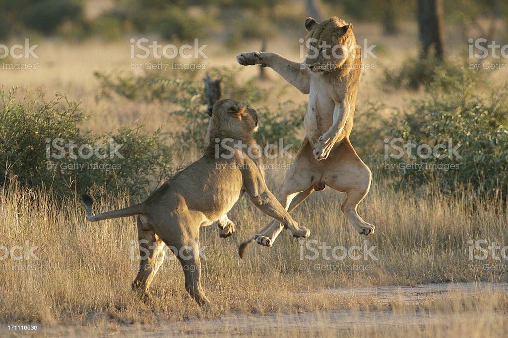 Young male lions playing with each other, jumping into air. stock photo