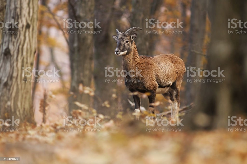 Young male Mouflon in the forest stock photo