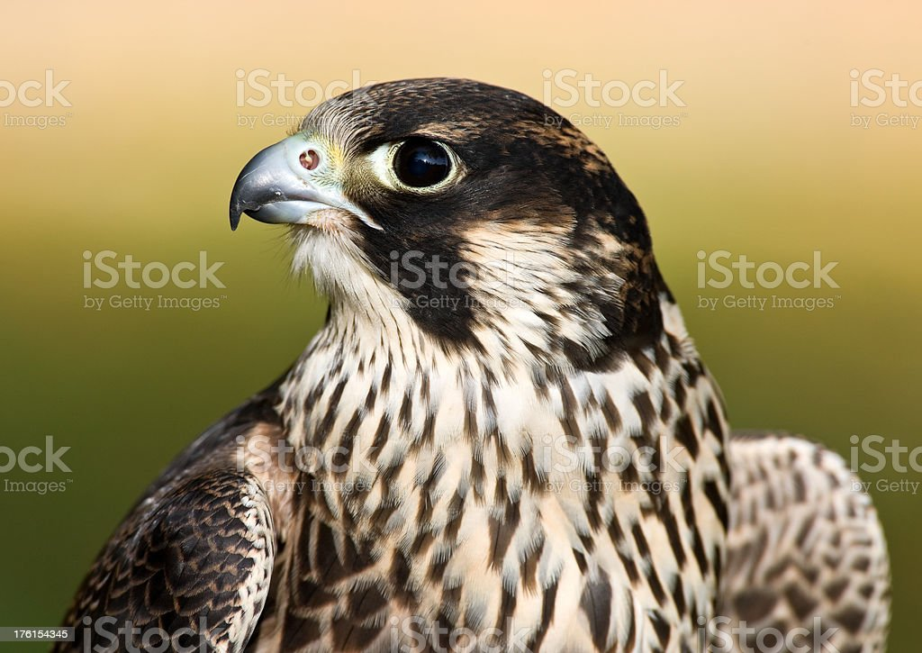 Young Male Peregrine Falcon royalty-free stock photo