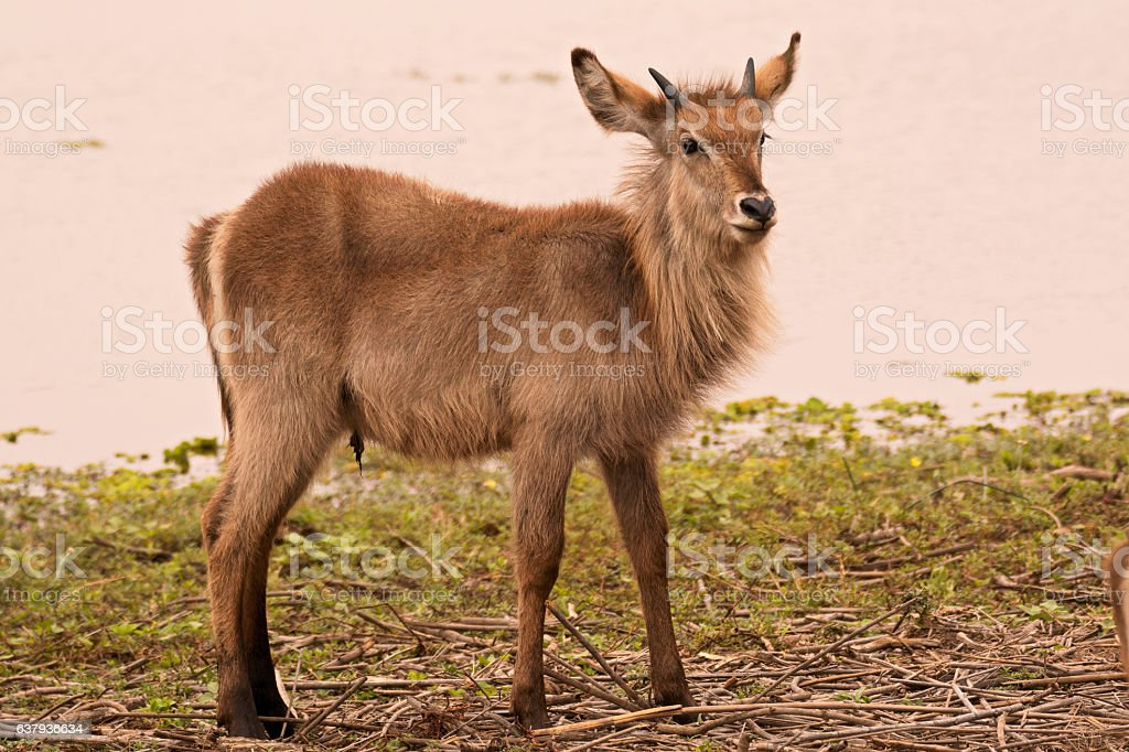 Young male waterbuck calf stock photo