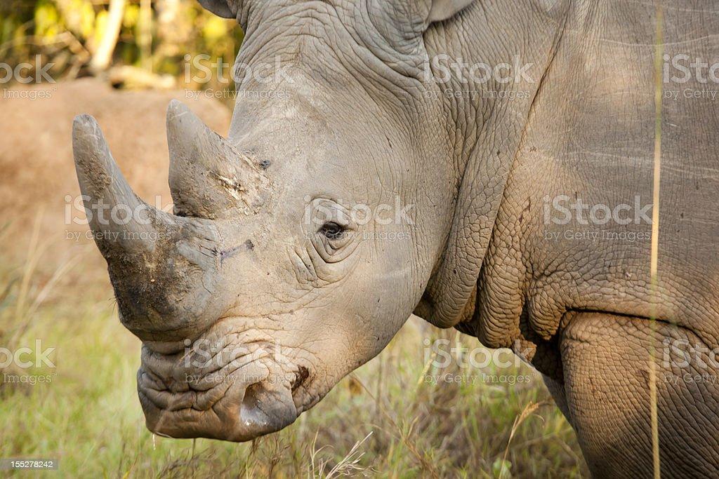 Young Male White Rhino stock photo