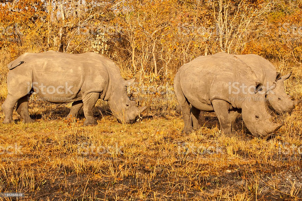 Young Male White Rhinos - three friends stock photo