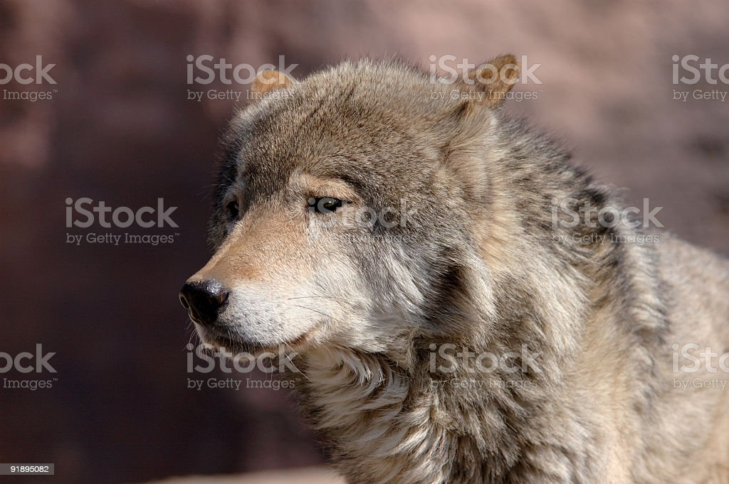 Young male wolf royalty-free stock photo