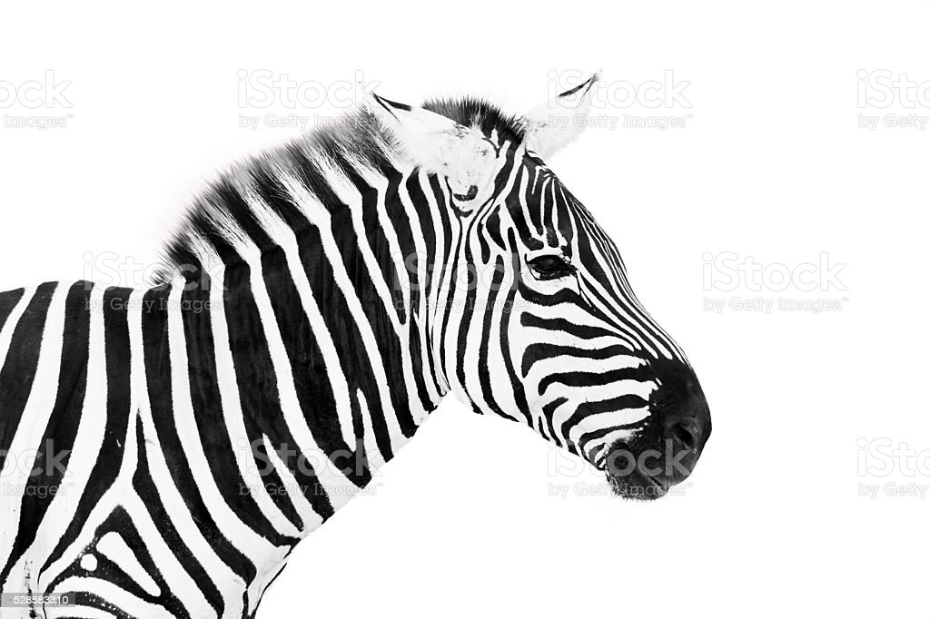 Young male zebra head isolated on white background stock photo