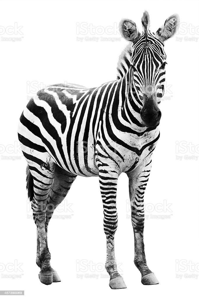 Young male zebra stock photo
