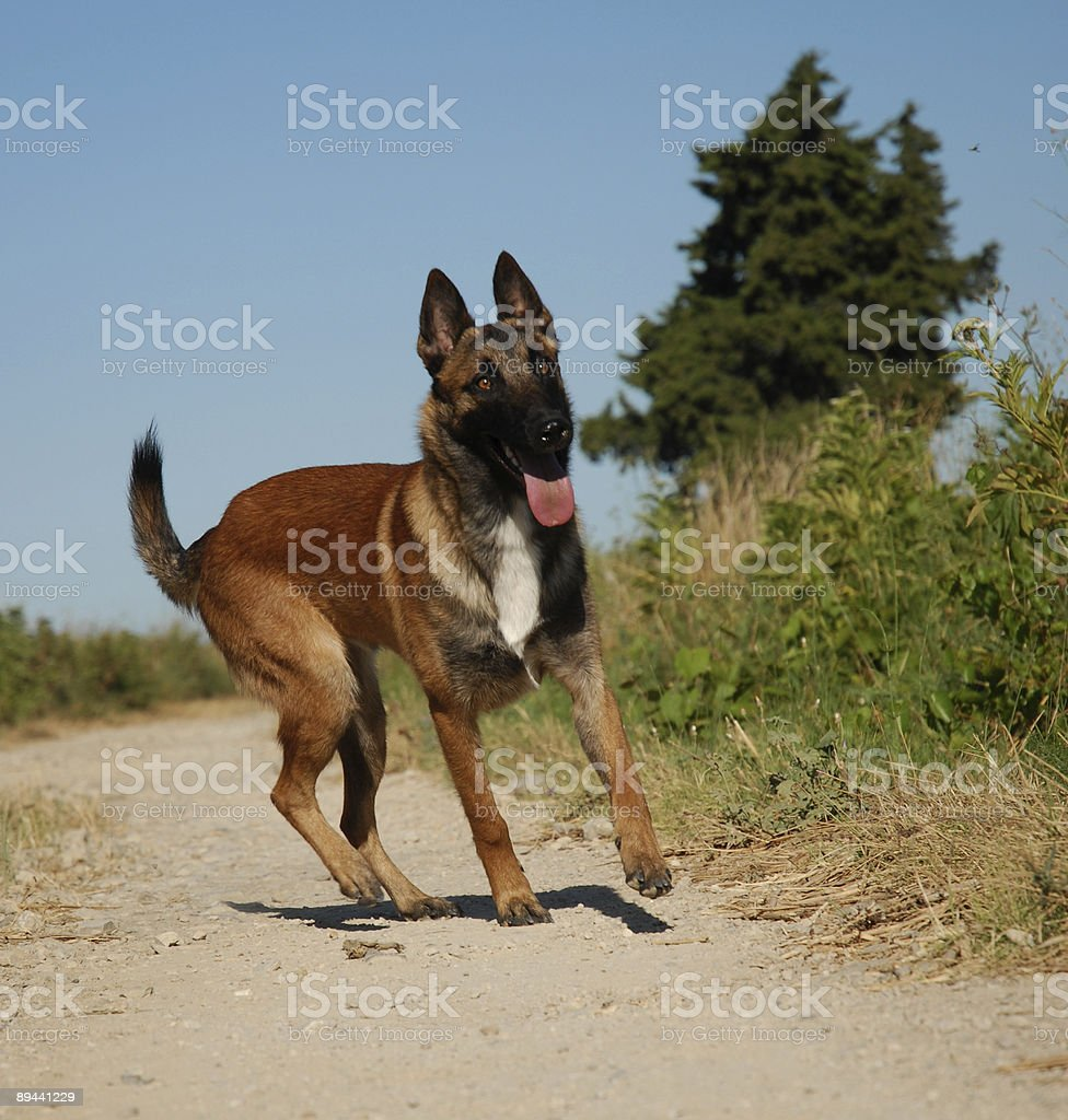 young malinois stock photo