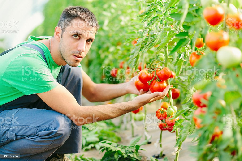 Young man checking on tomatoes in the greenhouse stock photo