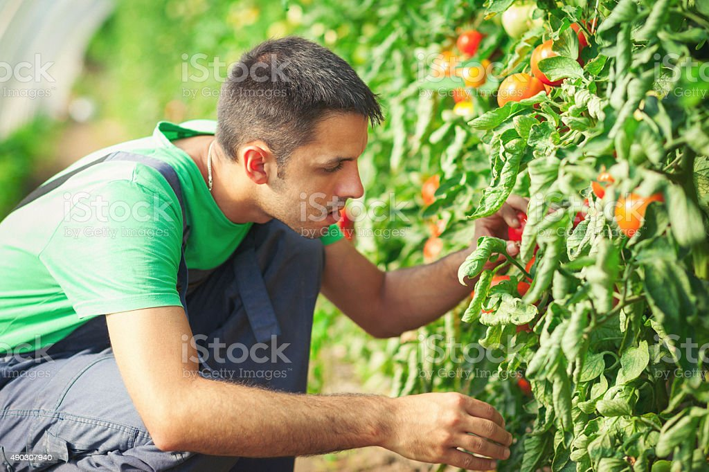 Young man checking tomatoes in green house stock photo