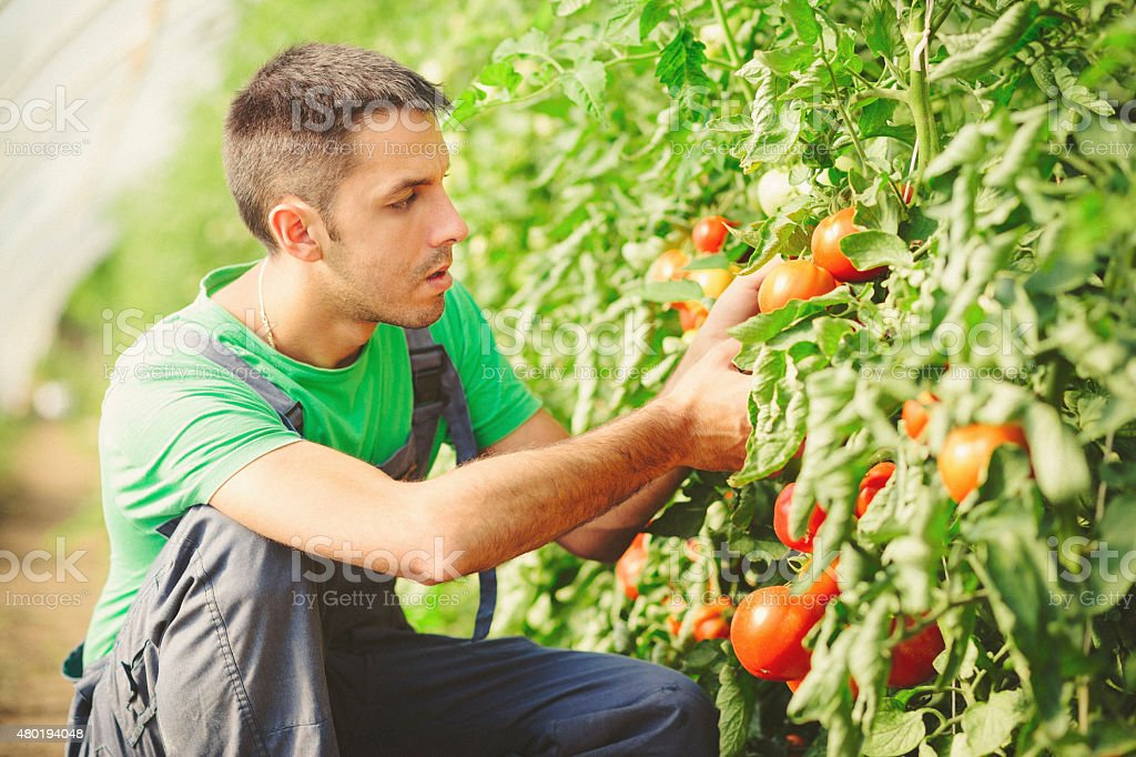 Young man checking tomatoes in the greenhouse stock photo
