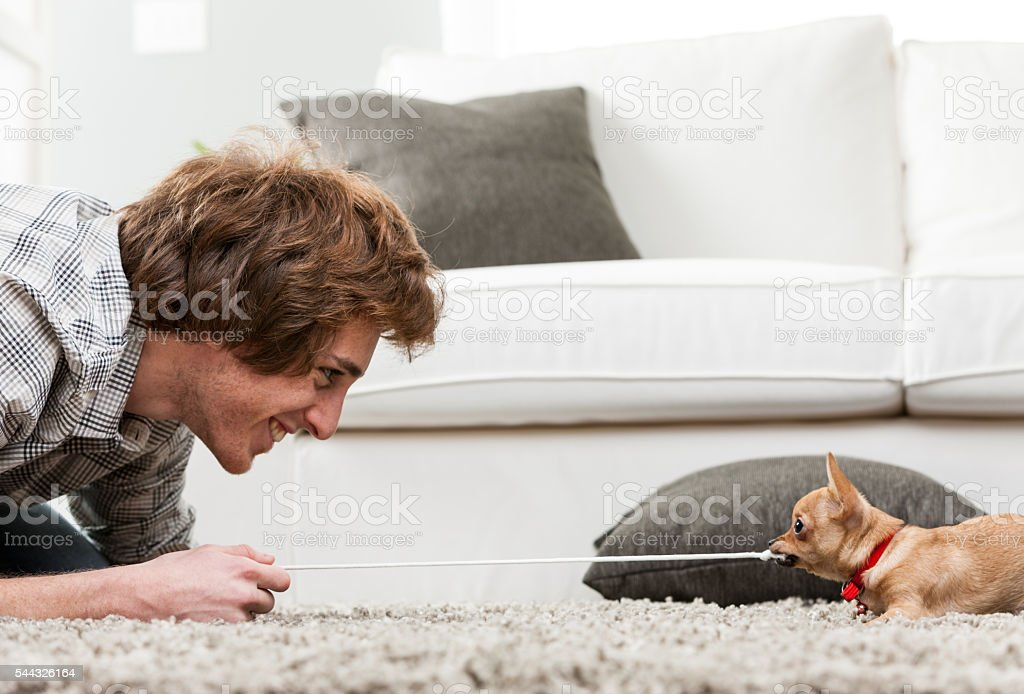 Young man having fun with his pet chihuahua stock photo