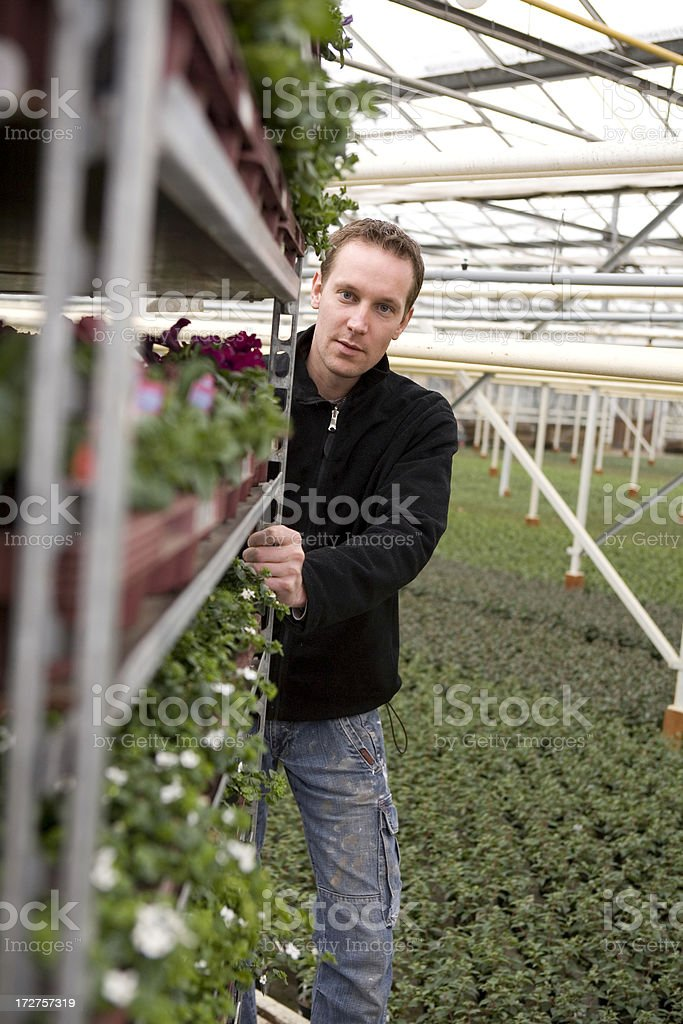 Young man is working hard in a greenhouse royalty-free stock photo