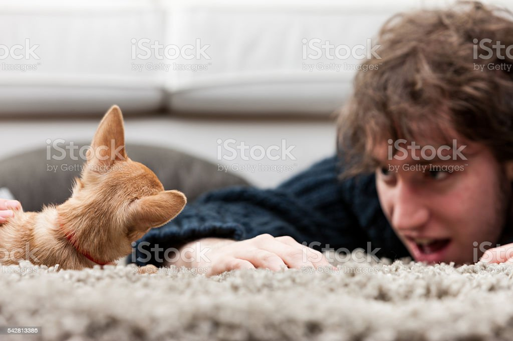 Young man playing with a chihuahua on the floor stock photo