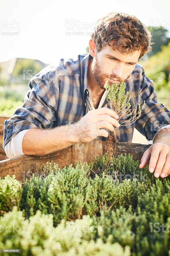 Young man smelling herbs at organic farm stock photo
