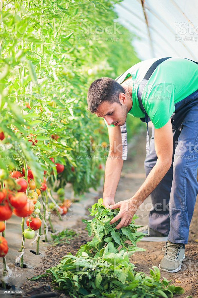 Young man taking care of tomatoes in the greenhouse stock photo