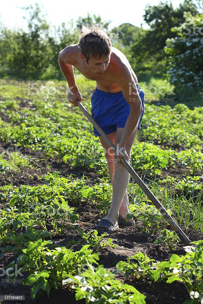 Young man weeding the beds with potatoes royalty-free stock photo