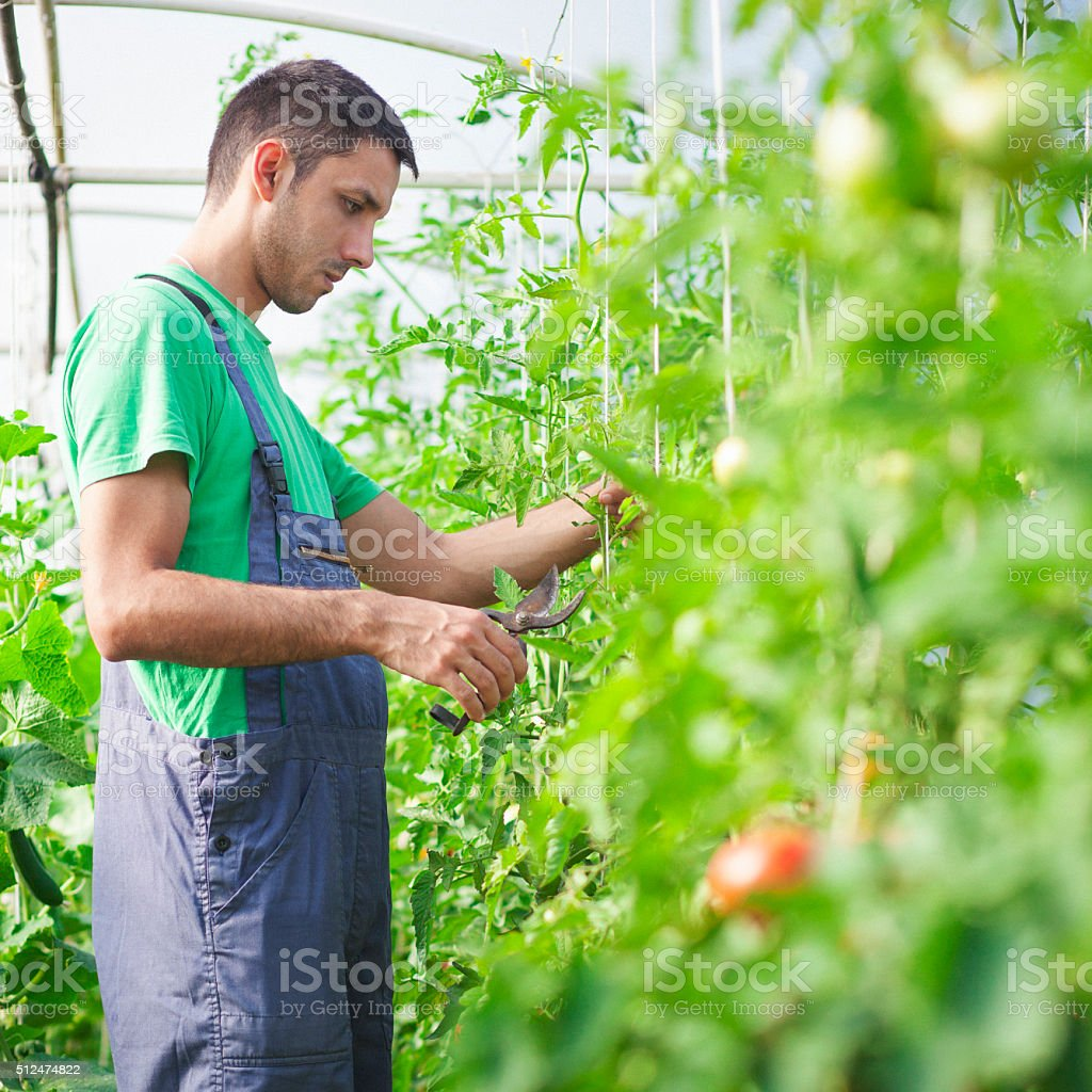 Young man working in the green house stock photo
