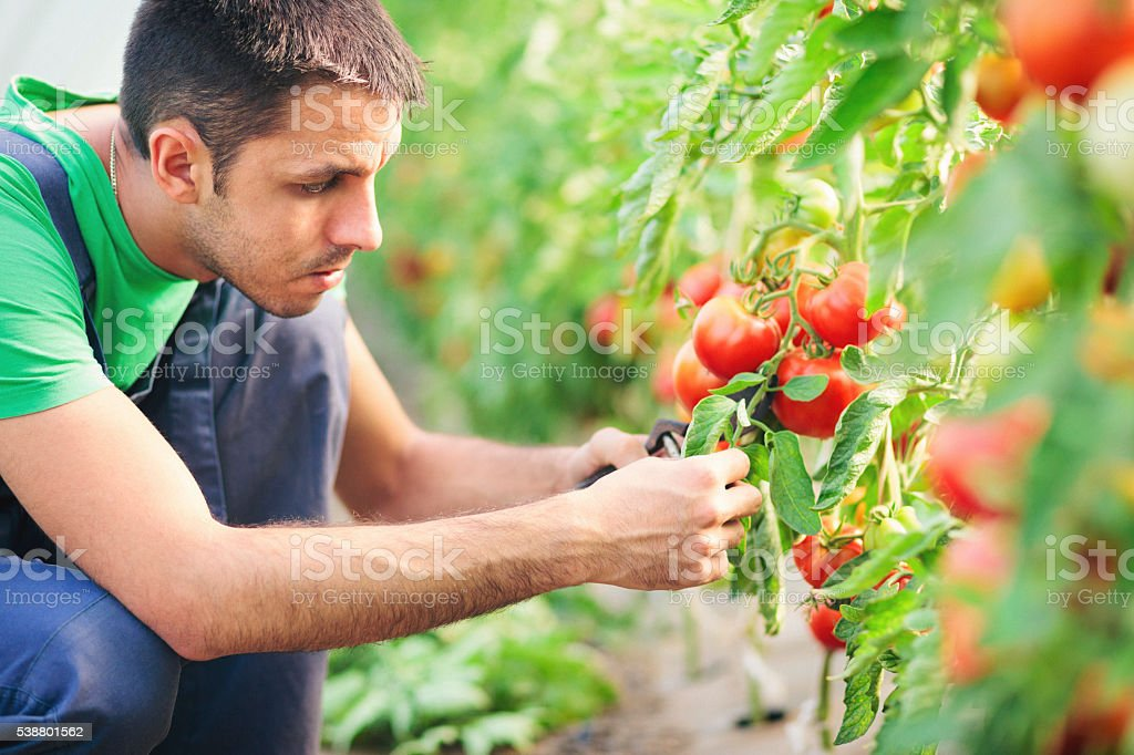 Young man working in the greenhouse stock photo