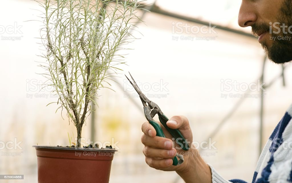 Young man working in the greenhouse. stock photo