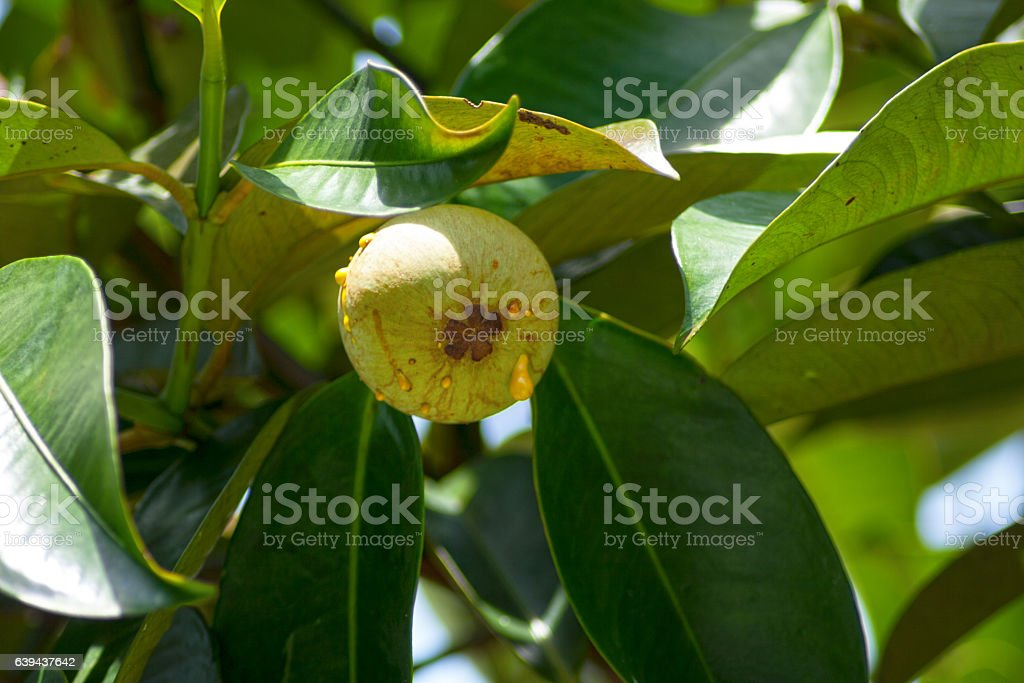 Young Mangosteen stock photo